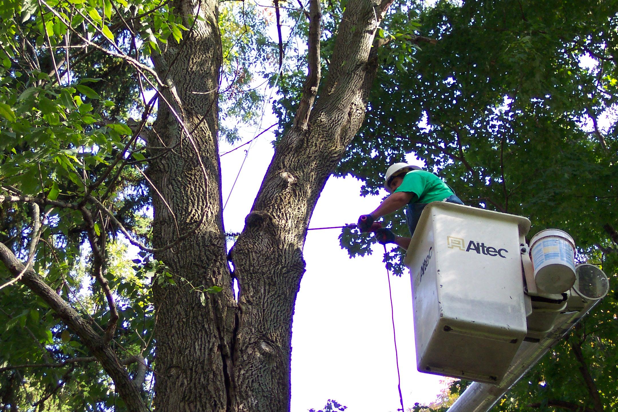 tree surgery cabling bracing
